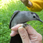 2. First Geolocated Catbird to Return to Warner Park from Central America (Trish O'Kane)